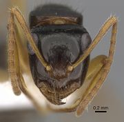 Camponotus lownei casent0280216 h 1 high.jpg