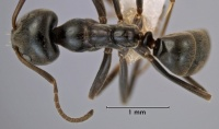 Iridomyrmex alpinus top view