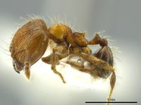 Pheidole caracalla jtlc000016339 p 1 high.jpg