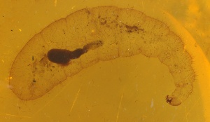 Myrmecia gracilis larva collected by Bede Lowery