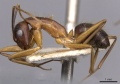 Camponotus picipes casent0910008 p 1 high.jpg