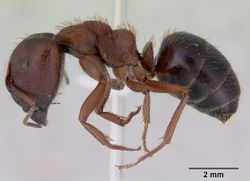 Camponotus whitei casent0172132 profile 1.jpg
