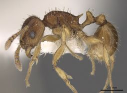 Tetramorium regulare casent0901187 p 1 high.jpg