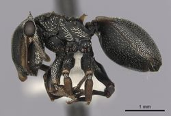 Cephalotes inaequalis P casent0627946.jpg