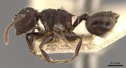 Crematogaster vacca casent0908465 p 1 high.jpg