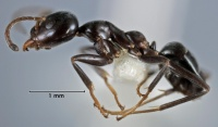 Iridomyrmex albitarsus side view