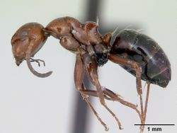 Camponotus lateralis casent0080857 profile 1.jpg