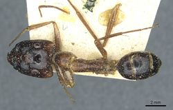 Camponotus posticus casent0912016 d 1 high.jpg