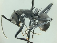 Polyrhachis hector-HUMCZ002L.jpg