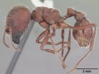 EASY Pogonomyrmex barbatus queen Ants-Ant Colony Starter Red harvester ant