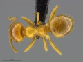 Mcz-ent00669224 Lasius coloradensis had.jpg