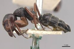 Camponotus scalaris casent0910462 p 1 high.jpg