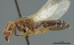 Crematogaster angusticeps casent0912793 p 1 high.jpg