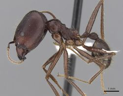 Pheidole longipes casent0281706 p 1 high.jpg