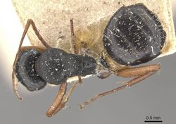 Camponotus scalaris casent0910463 d 1 high.jpg