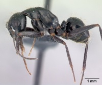 Camponotus aethiops casent0179459 p 1 high.jpg
