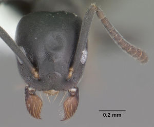 Technomyrmex albipes casent0104343 head 1.jpg
