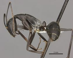 Camponotus natalensis casent0235237 p 1 high.jpg