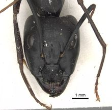 Camponotus sinaiticus casent0281013 h 1 high.jpg