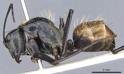 Camponotus flavocrines casent0903561 p 1 high.jpg