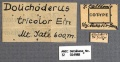Dolichoderus tricolor syntype ANIC32-014988 labels-Antwiki.jpg