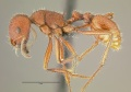 Pogonomyrmex-occidentalisL2.jpg