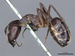 Camponotus congolensis casent0905310 p 1 high.jpg