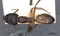 Camponotus thoracicus casent0910249 d 1 high.jpg