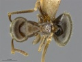 Mcz-ent00520085-Lasius-alienus-worker-had.jpg