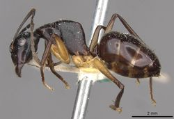 Camponotus michaelseni casent0910391 p 1 high.jpg
