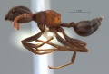 Crematogaster-aurita-lateral-am-lg.jpg