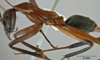 Leptomyrmex tibialis side view