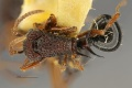 Polyrhachis-etheli-Type-had2.jpg