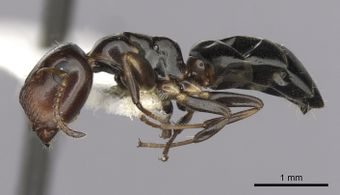 Camponotus conithorax casent0280183 p 1 high.jpg