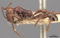 Ocymyrmex laticeps casent0909074 p 1 high.jpg