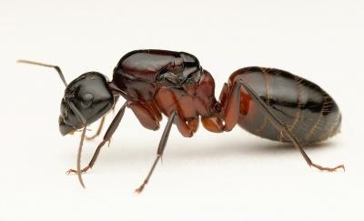 400px-Camponotus-ligniperda_Queen.jpg