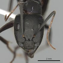 Camponotus laconicus casent0249987 h 1 high.jpg