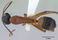 Camponotus nigriceps casent0172136 d 1 high.jpg