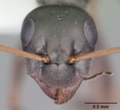 Formica glacialis casent0104762 head 1.jpg