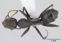 Camponotus trapeziceps casent0173457 dorsal 1.jpg