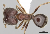 Pheidole sculpturata casent0281616 d 1 high.jpg