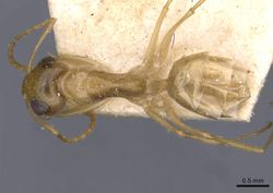 Camponotus simulans casent0909952 d 1 high.jpg