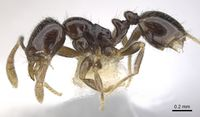 Monomorium invidium casent0902229 p 1 high.jpg