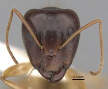 Camponotus humilior casent0280223 h 1 high.jpg