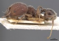 Pheidole excellens casent0913308 p 1 high.jpg