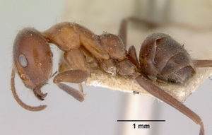 Iridomyrmex obscurior side view