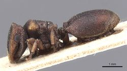 Cephalotes fossithorax casent0912598 p 1 high.jpg