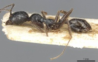 Aphaenogaster theryi casent0913135 p 1 high.jpg