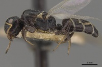 Camponotus icarus casent0910538 p 1 high.jpg