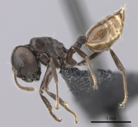 Crematogaster mafybe casent0141219 p 1 high.jpg